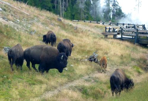 YellowstoneBuffalo0104