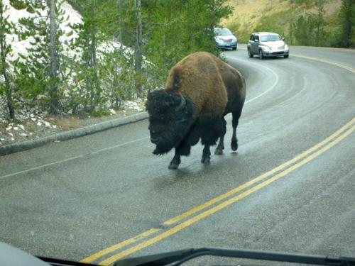 YellowstoneBuffalo0364
