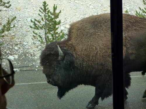 YellowstoneBuffalo0366