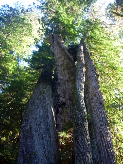 RedwoodsNPTwistedTree0630