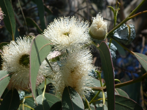 Eucalyptus0950