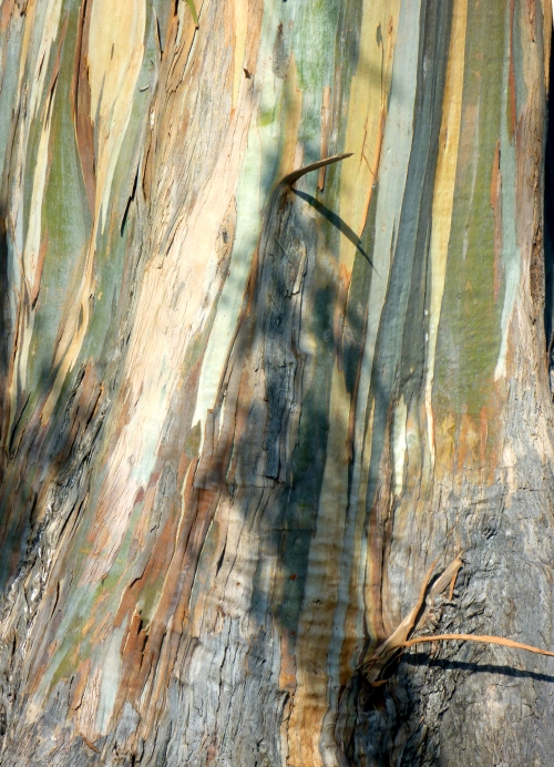 Eucalyptus0956