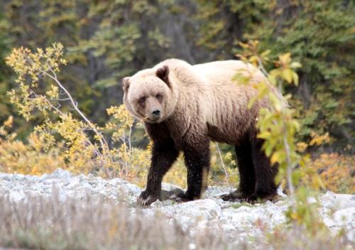 AlaskanHwyReturnBear6868