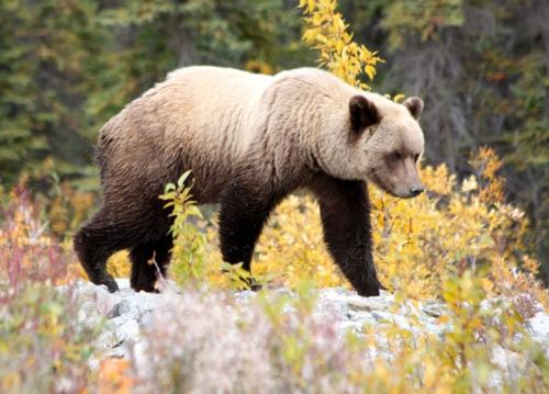 AlaskanHwyReturnBear6872