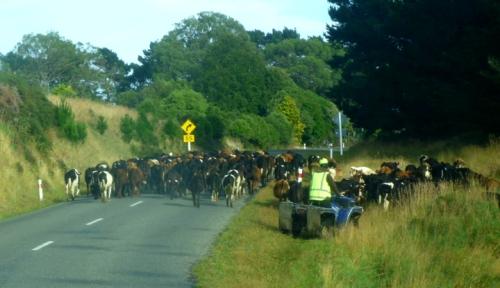 CattleRoadBlock0205