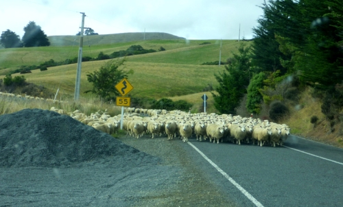 SheepRoadblock0162