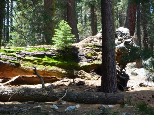 SequoiaNP0365